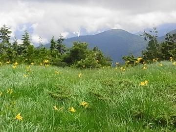 草原のニッコウキスゲ