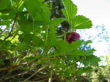 ベニバナイチゴの花