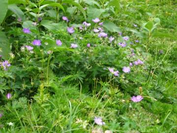 ピンクのハクサンフウロウ、花畑
