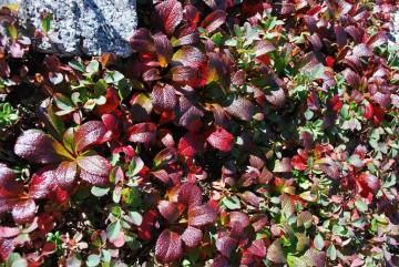 春先には 白い小さな花が咲き、秋には真っ赤になるウラシマツツジ