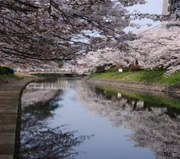 遊覧船も超人気 松川の満開の桜