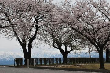 桜並木と立山連峰・・・・文句の付け様が無い! 問題は撮影者の腕(-_-;)