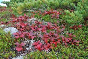 どんな年でも、これだけは真っ赤に色付き、秋を感じさせてくれます。