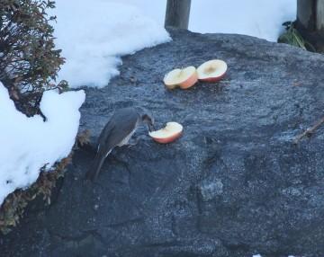 野鳥はサッパリ分かりません(>_<)。でも、 ライチョウ、イワヒバリ、ホシガラス、チョウゲンボウ・・・エッヘン!(^_^)v)