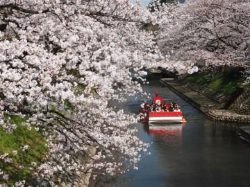 松川の桜のトンネルをくぐる、遊覧船
