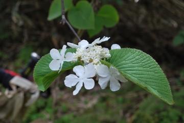 ムシカリの花が彼方此方に咲いてました。オオカメノキの花。