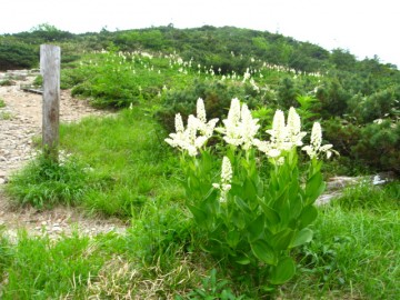 太郎平辺りのコバイケイソウ。 花束みたいですね。