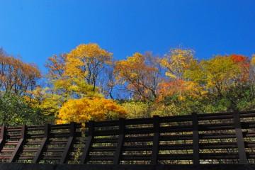 雪害予防の柵越しから。楓の黄色と真っ青な空が鮮やかでした。