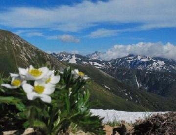 ハクサンイチゲが房咲きしています。見飽きない純白の花。 イイね!