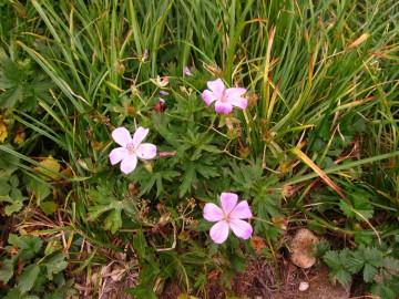ハクサンフウロウのピンクは初秋の代表色。