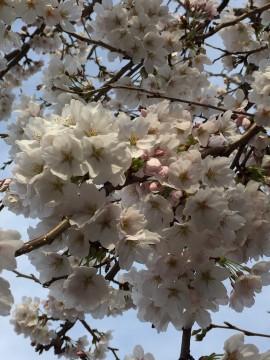 我が家の満開時の桜の房。今年も見れました。 「来年も見たいね」と言って、夫と眺めていました。