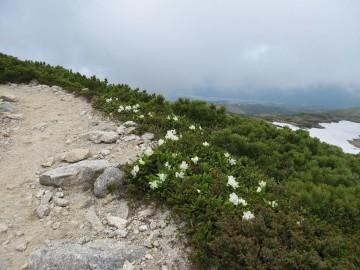 山荘の、はいりぐちは、キバナシャクナゲの小道です。