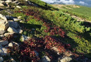 秋色の先手を取って、赤く色づいたウラシマツツジの葉っぱ?